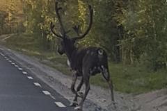 Rudolf i nord Sverige