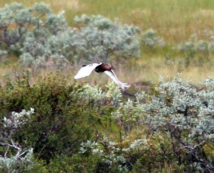 Jaktprøve i Ålen 19. og 20. august
